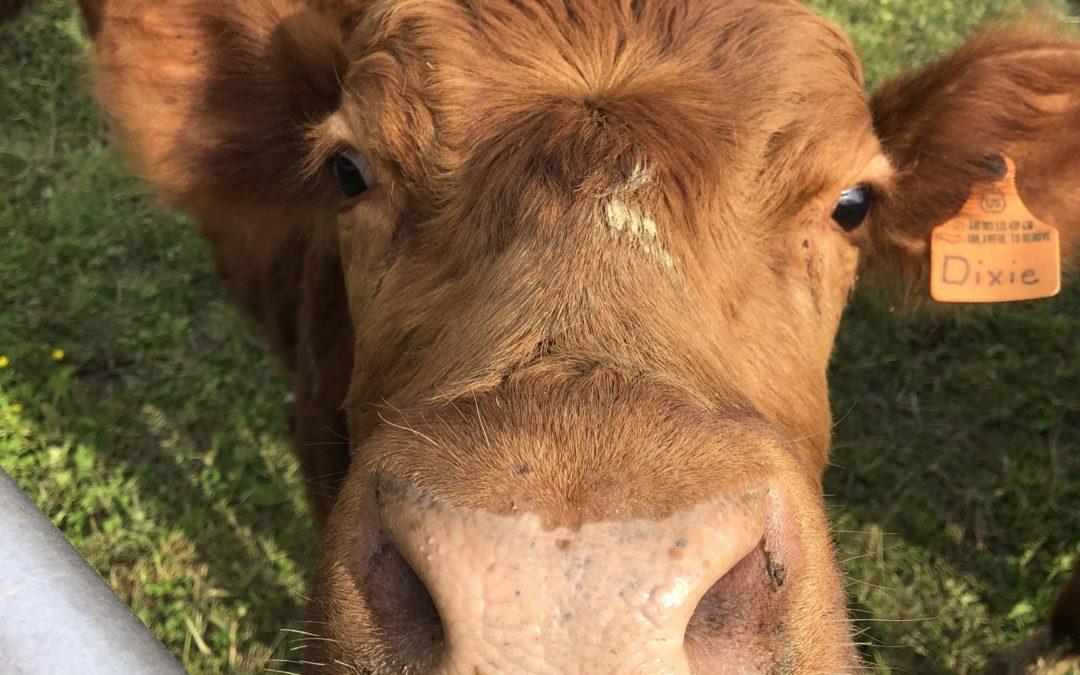 Till the Cows Come Home…#2