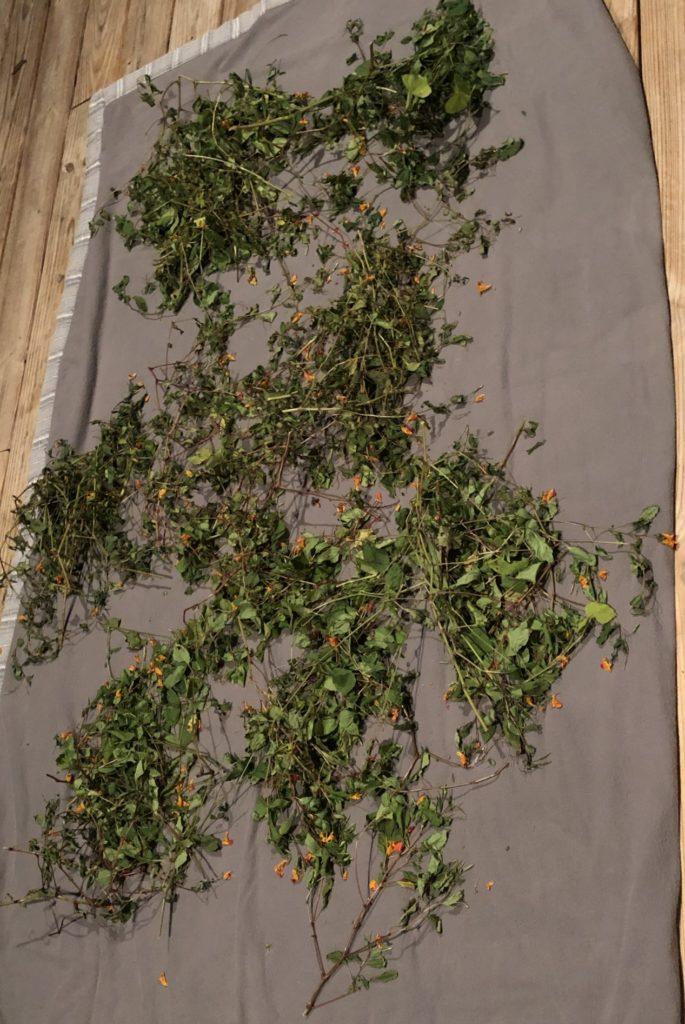 Last Jewelweed Harvest