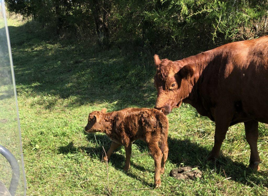 New Calf on the Homestead!