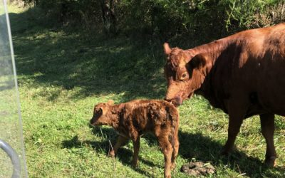 New Calf on the Homestead!